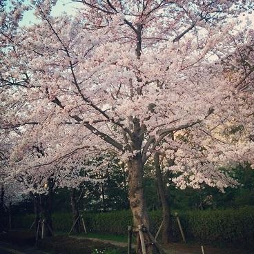 桜の季節なんだからネタが無いなら写真をあげればいいじゃない