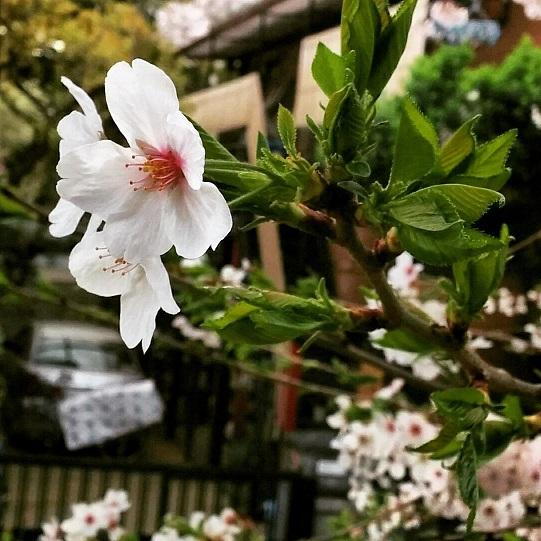 桜ネタも納め時